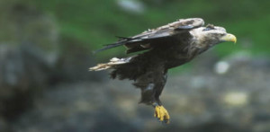 Mull Eagle Watch